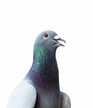 close up head of homing pigeon