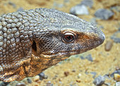 Closeup Head of Savannah Monitor Isolated on Stone with Sand Background