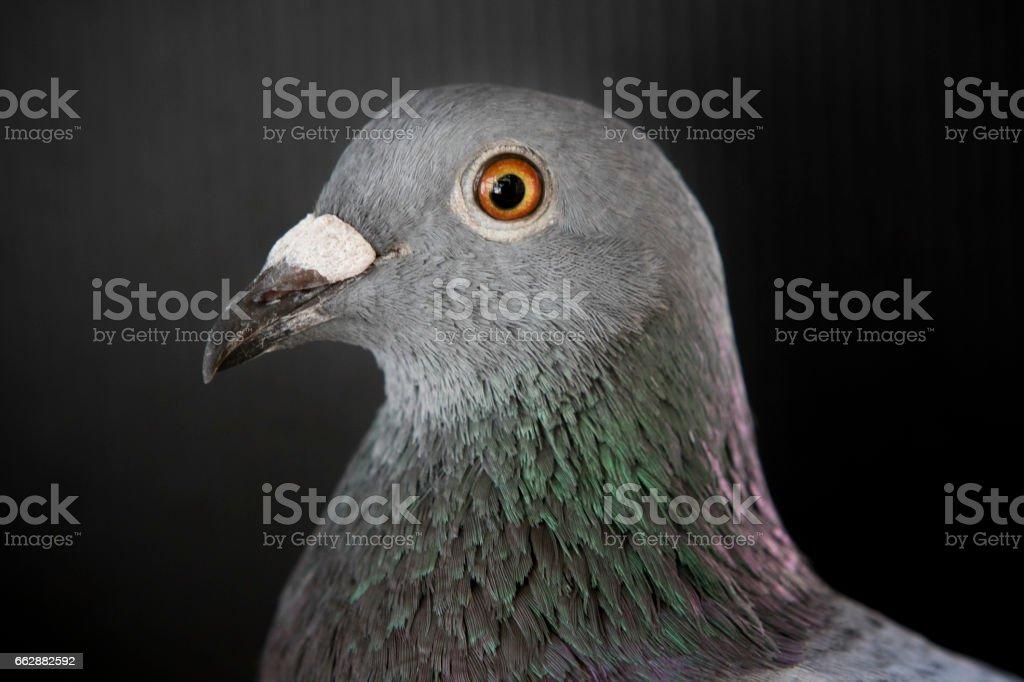 Close Up Head Of Sport Racing Pigeon Bird On Black Stock