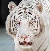 Closeup Head of White Bengal Tiger Isolated on Background