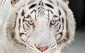 Closeup Head of White Bengal Tiger Staring Isolated on Background