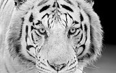 Closeup Head of White Bengal Tiger Staring Isolated on Background, Black and White