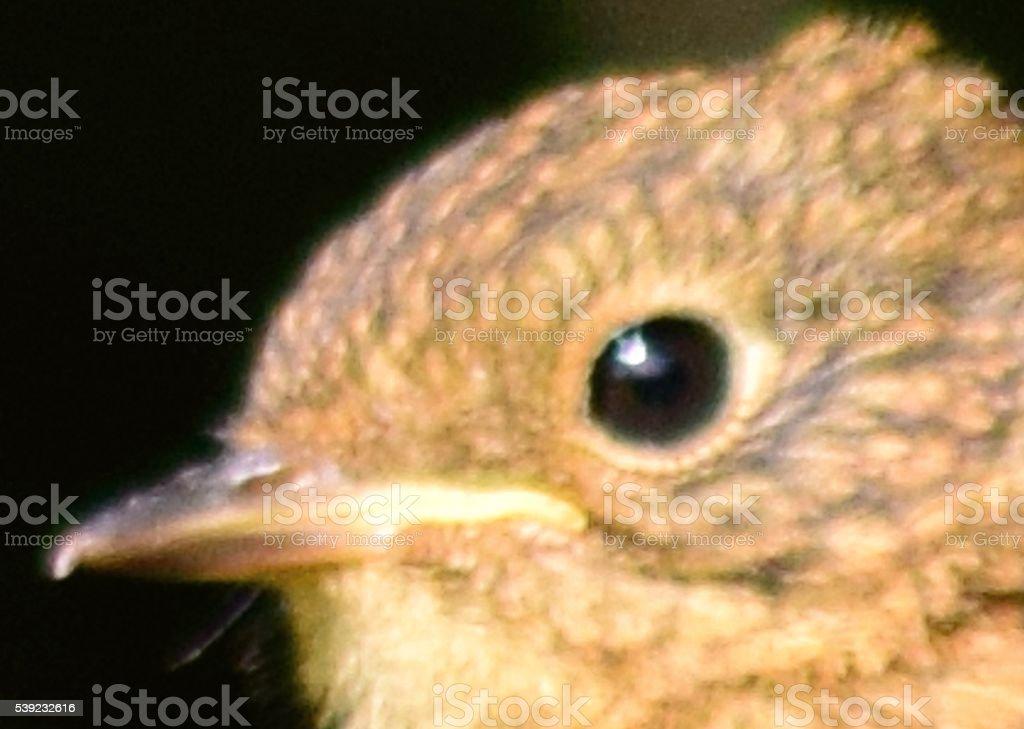 close up head shot baby bird fledgling robin royalty-free stock photo