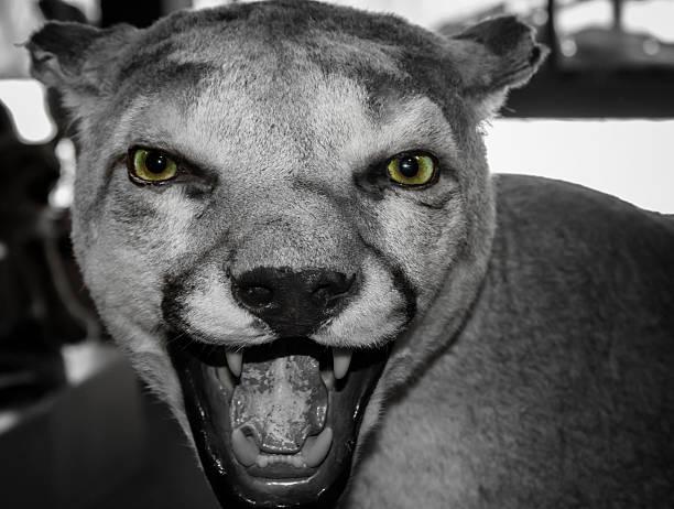 close up head shot of couger - schwarzer puma stock-fotos und bilder