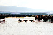 Close up herd of wild horses running in water over countryside landscape in Kayseri, Turkey