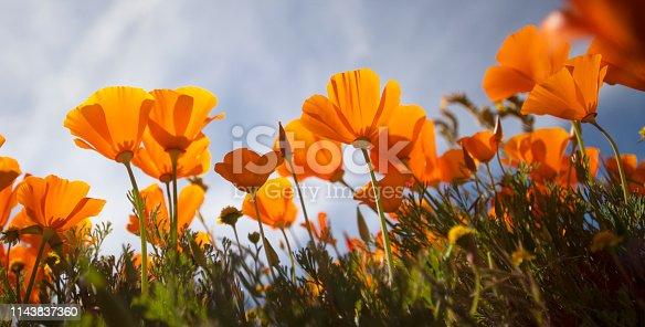 California golden poppy wildflower flowers during a superbloom