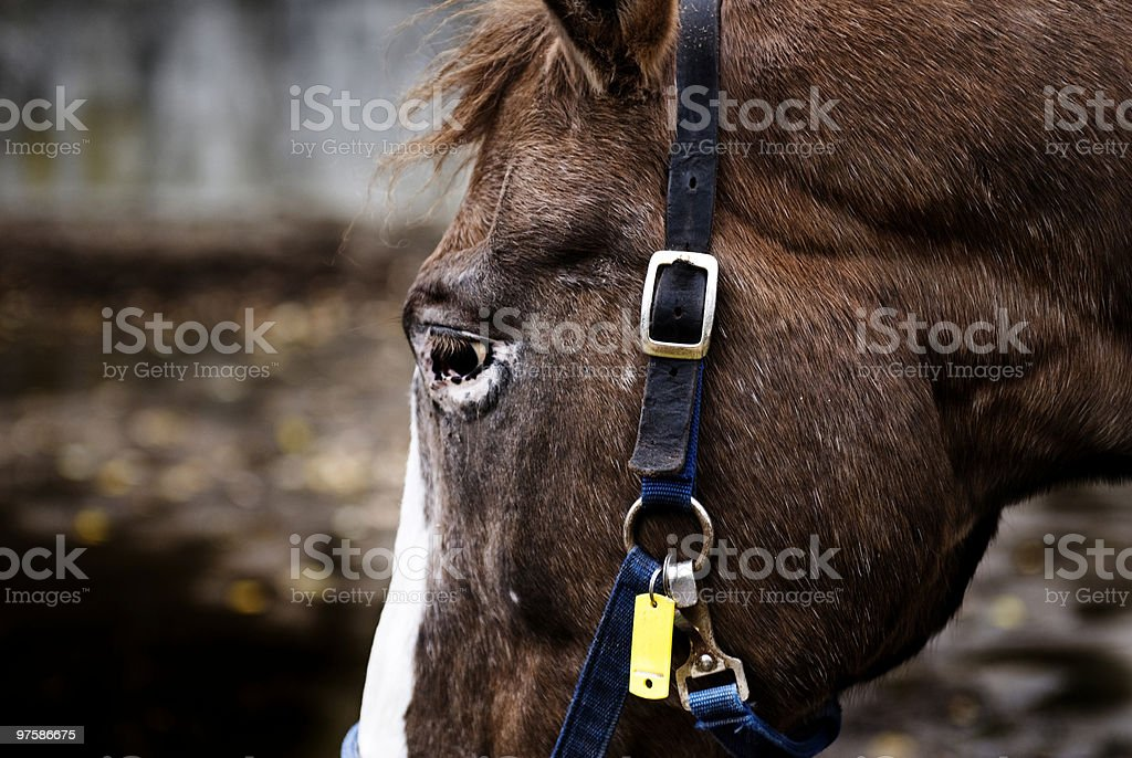 Close Up Horse Face royalty-free stock photo