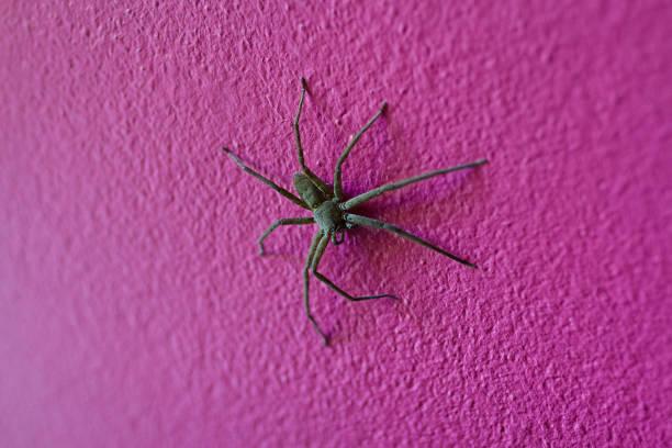gros entretien ménager spideris accroché sur un mur rose. - araignée photos et images de collection
