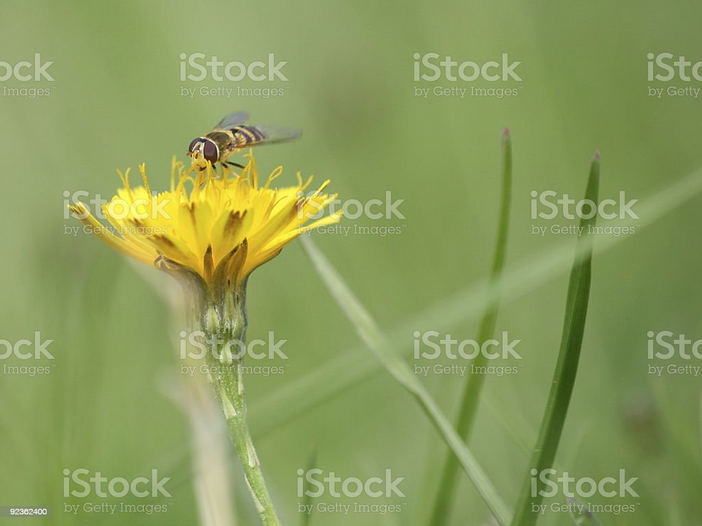 Close up hoverfly royalty-free stock photo