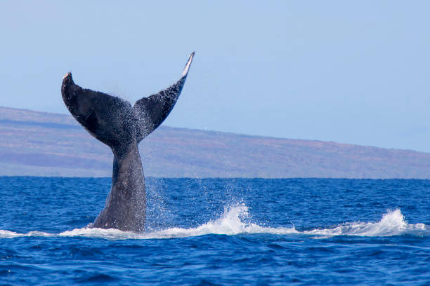 Close up Humpback Whale Tail Close up Humpback Whale tail as whale dives into ocean whale stock pictures, royalty-free photos & images