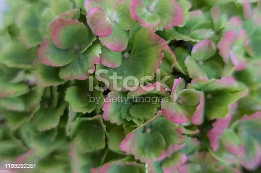 Close Up Hydrangea Flower in Green and Purple Color in Autumn Garden