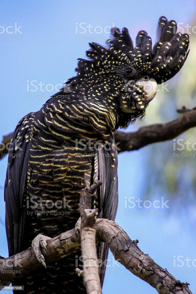 Nahaufnahme, wenn ein rot tailed schwarzen Kakadu mit einer hübschen Haube hocken auf einem Ast – Foto