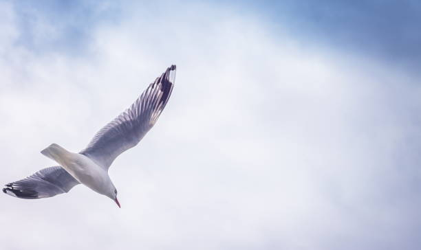 close up image of a a seagull flying against a cloudy sky with copyspace - uccello marino foto e immagini stock