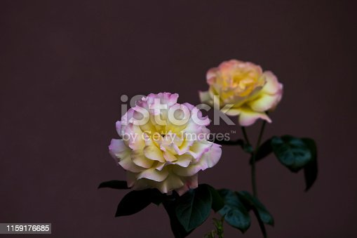 istock Close up image of a couple of pink-yellow damask roses on maroon background. 1159176685