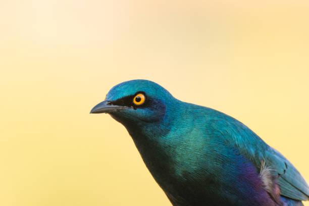 nahaufnahme bild eines glänzenden starts - ausmalbilder vögel stock-fotos und bilder