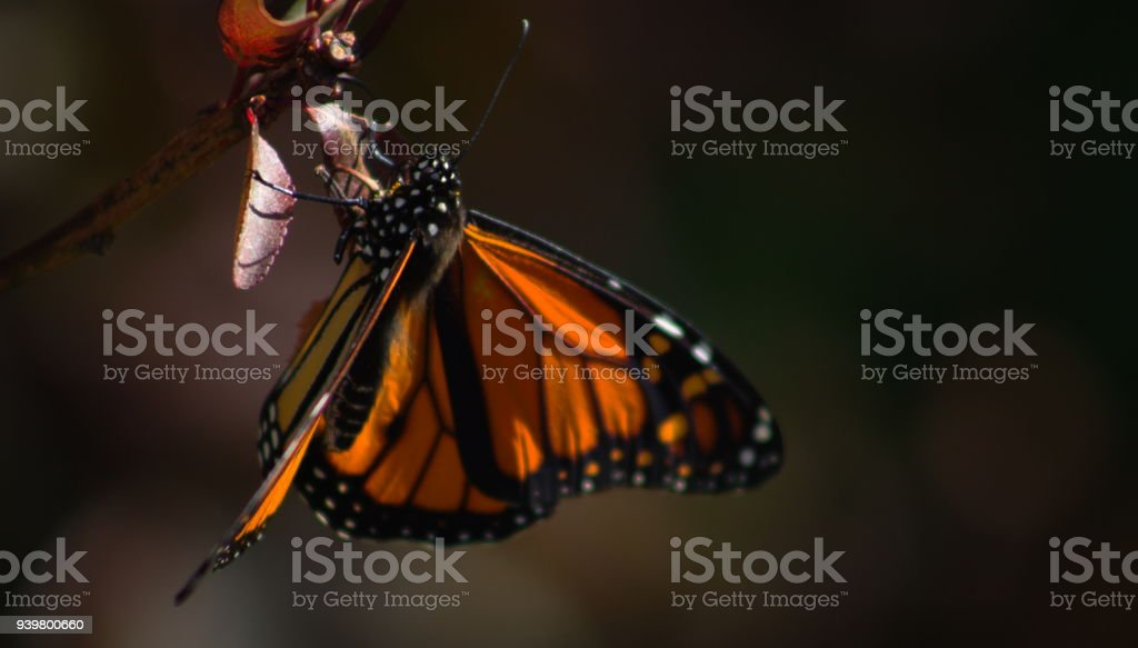 Close Up image of a Monarch Butterfly in a Garden stock photo