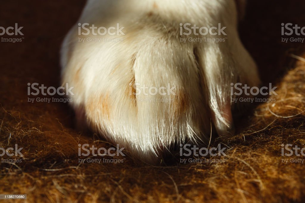 Close up image of a paw of dog american beagle on a plaid. Resting...