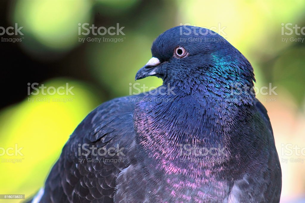 Close up image of a Pigeon stock photo