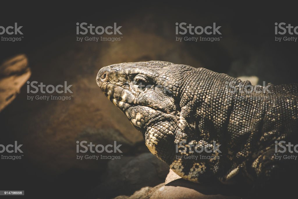 Close up image of a rock monitor lizard laying in the sun stock photo