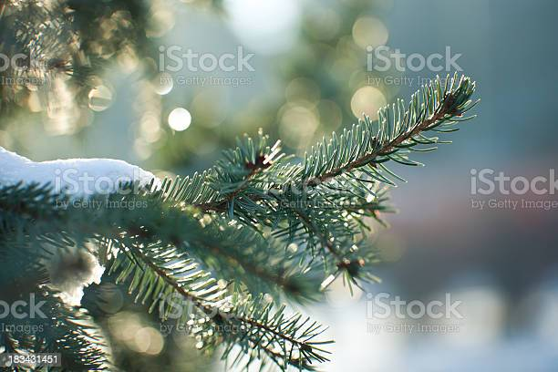 Photo of Close up image of a snowy evergreen tree in winter