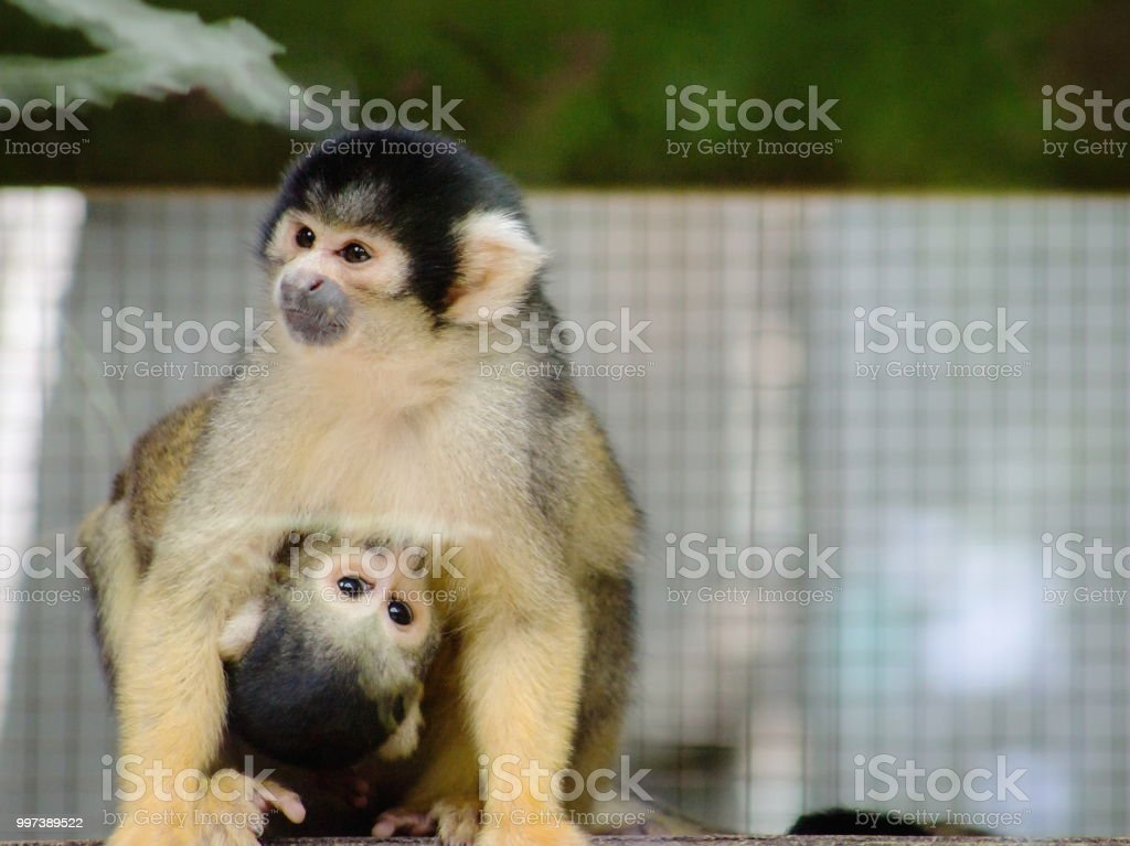 Schließen Sie herauf Bild von einem Eichhörnchen-Affen halten und Füttern von seiner Mutter. – Foto