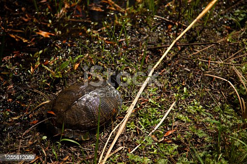 Close up image of an isolated box turtle (Terrapene carolina). Image was taken at Back bay national wildlife refuge in Virginia. The animal is walking slowly in a swamp. It is well camouflaged.