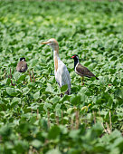 Close up image of Cattle Egret bird with Red Wattled Lapwing in a field near Sasan Gir, Gujarat, India.
