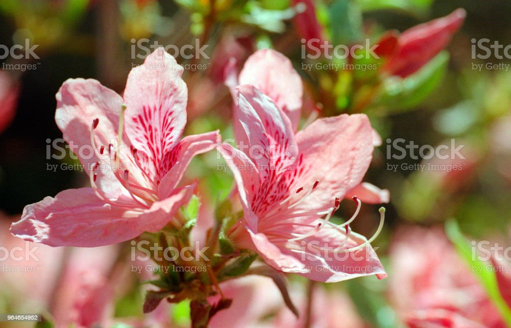 Close up image of dark pink rhododendron flowers. Shot on film royalty-free stock photo