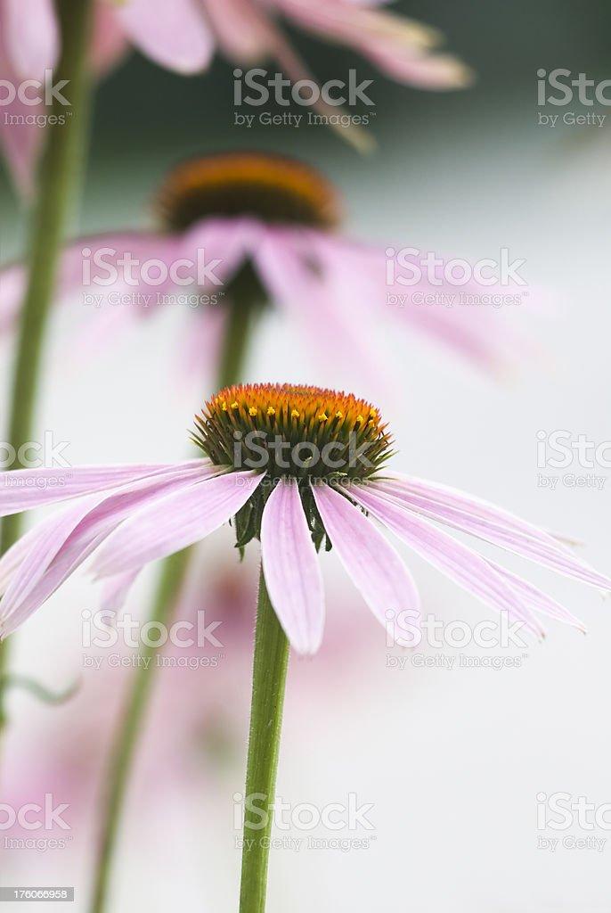 Close up image of Echinacea purpurea flower - V royalty-free stock photo