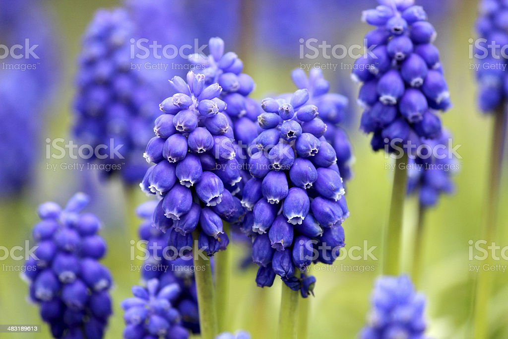 Close up image of grape hyacinths in the spring stock photo