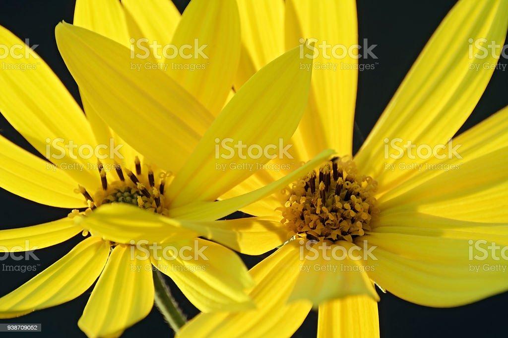 Close up image of Jerusalem artichoke flowers. stock photo