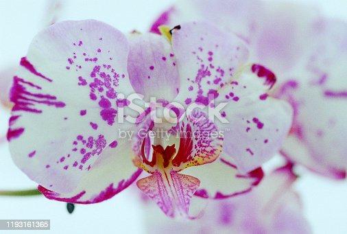 Close up image of phalaenopsis orchid on white background