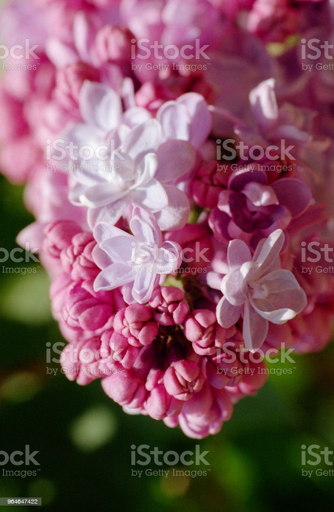 Close up image of pink lilac bunch of flowers. Shot on film royalty-free stock photo