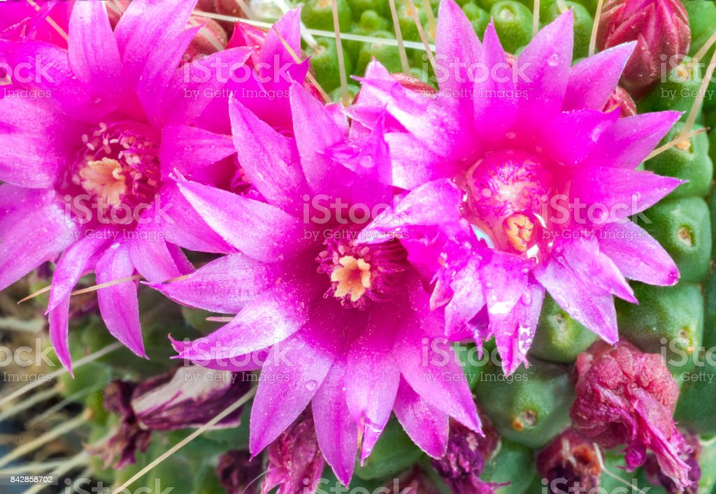close up image of red hedgehog cactus flowers stock photo