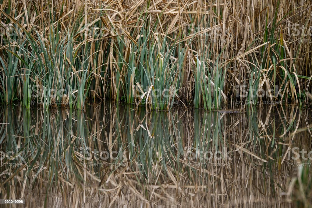 Close up image of reeds in water during Spring royalty-free stock photo
