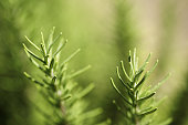 Close up image of rosemary growing in a garden