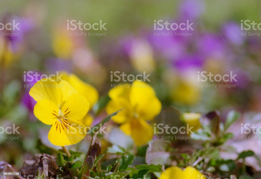 Close up image of small viola tricolor yellow flower. Shot on film royalty-free stock photo