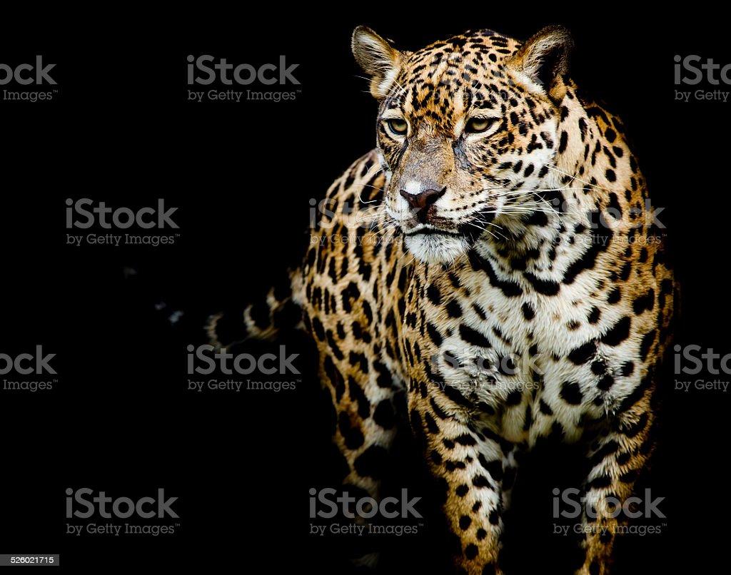Plano Aproximado Jaguar Retrato Foto De Stock Royalty Free