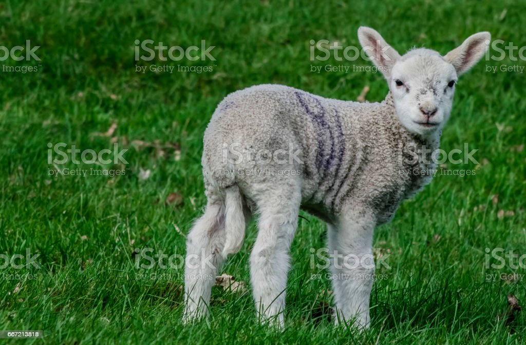 Close up Lamb portrait. royalty-free stock photo
