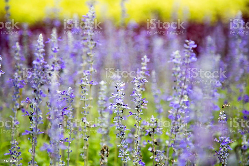 close up lavender flower in garden stock photo