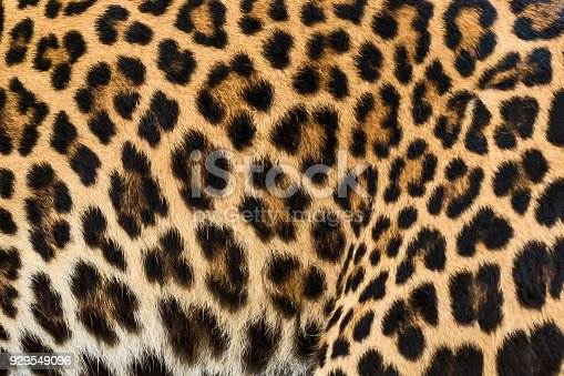 istock Close up leopard fur background. 929549096