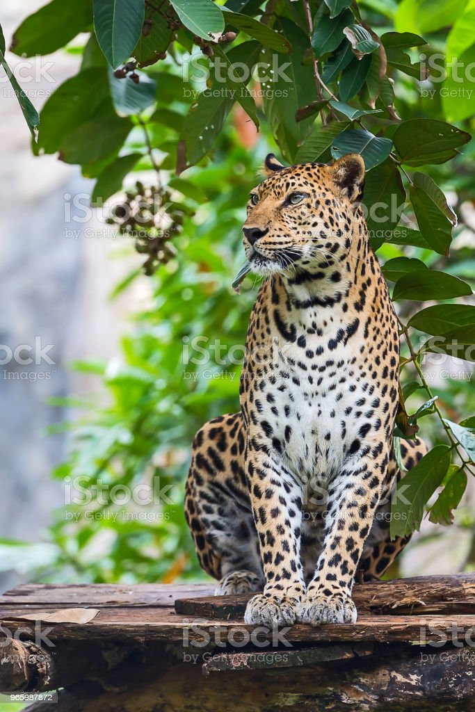 Close-up van Leopard. - Royalty-free Afrika Stockfoto