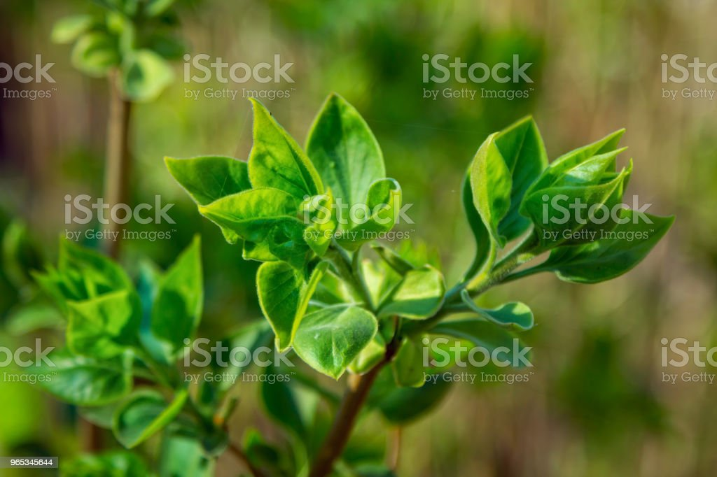 Close up lilac bush branch with small green leaves zbiór zdjęć royalty-free