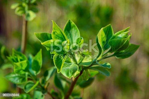 Close Up Lilac Bush Branch With Small Green Leaves - Stockowe zdjęcia i więcej obrazów Bez ludzi