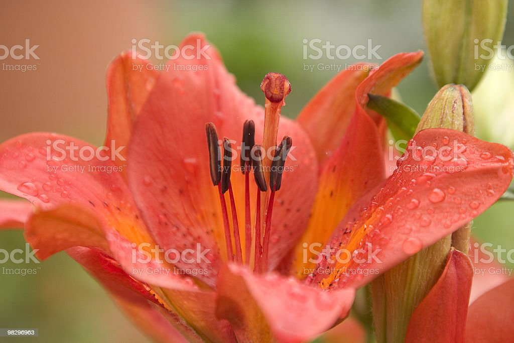 Close up Lily royalty-free stock photo