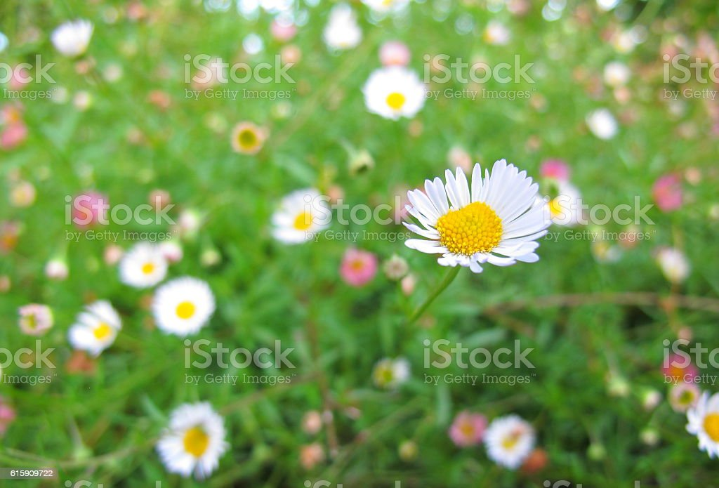 Close up little white flower in garden stock photo