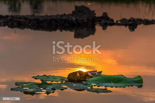 Close up lotus leaves in the pond at sunset