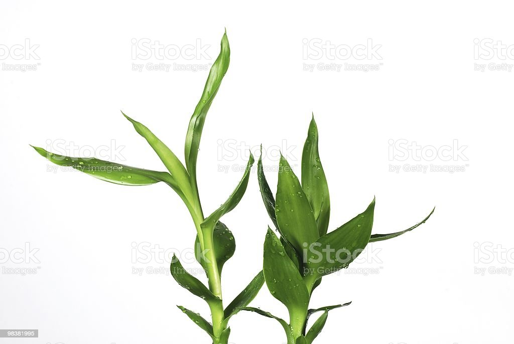 Close up lucky bamboo royalty-free stock photo