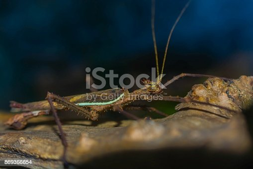 Close up macro image of stick insect.