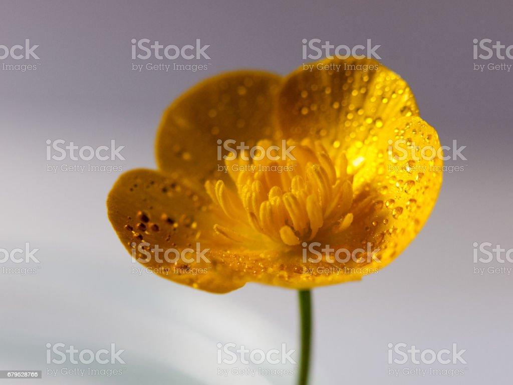 close up macro of a wet buttercup inside studio crisp royalty-free stock photo